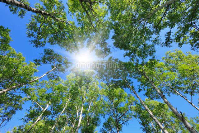 新緑の白樺林の写真素材 [FYI01498366]