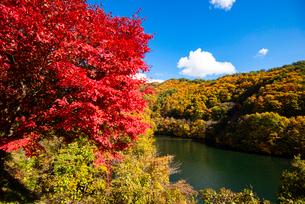 秋のもみじ湖 箕輪ダム の写真素材 [FYI01498519]