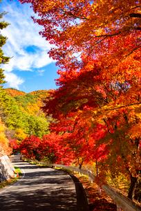 紅葉のカエデ並木 もみじ湖湖畔の写真素材 [FYI01498644]