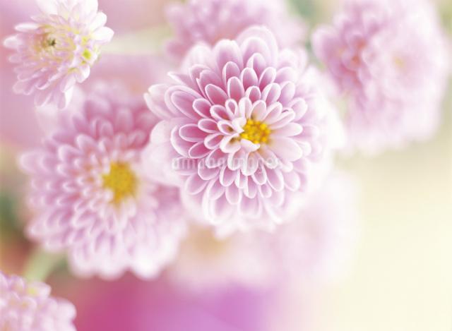 ピンクのスプレーマムのクローズアップの写真素材 [FYI01498709]