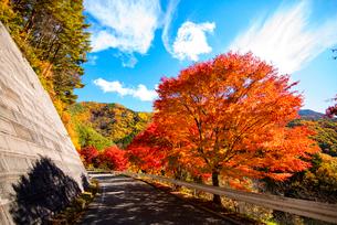 紅葉するもみじ湖湖畔のカエデ並木の写真素材 [FYI01498718]
