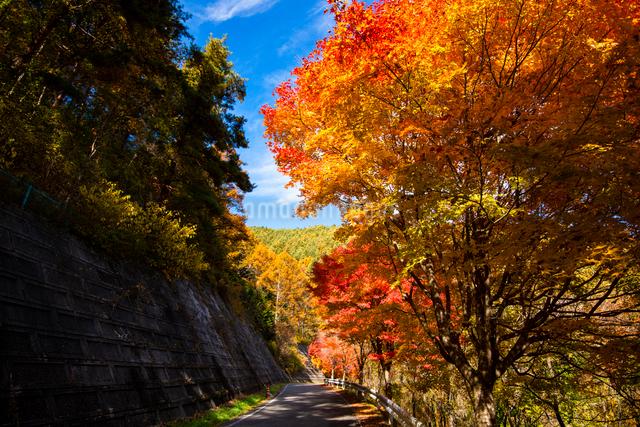 もみじ湖湖畔の紅葉のカエデ並木(箕輪ダム)の写真素材 [FYI01498775]