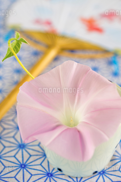 ピンク色の朝顔とうちわの写真素材 [FYI01499253]