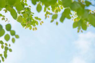 青空に伸びる新緑の写真素材 [FYI01499284]