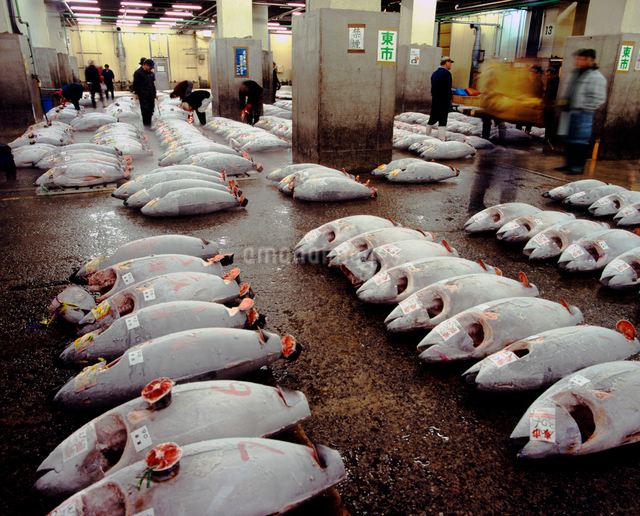 中央卸売市場の冷凍マグロのせりの光景の写真素材 [FYI01499852]