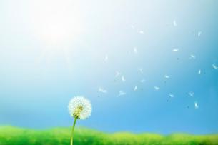 風に舞うタンポポの胞子の写真素材 [FYI01500698]