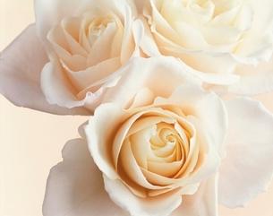 ピンクのバラの写真素材 [FYI01501282]