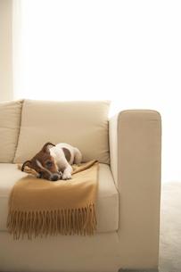 ソファのひざ掛けとジャックラッセルテリアの写真素材 [FYI01501292]