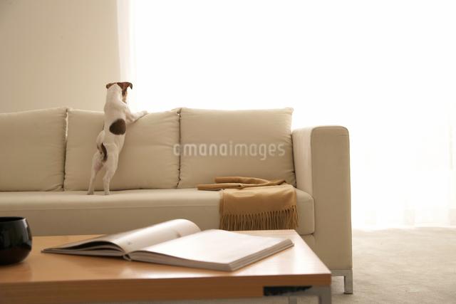 リビングのソファとジャックラッセルテリアの写真素材 [FYI01501312]