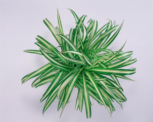 観用植物 オリヅルランの写真素材 [FYI01501489]
