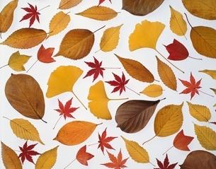 紅葉したモミジとイチョウの葉の写真素材 [FYI01501501]
