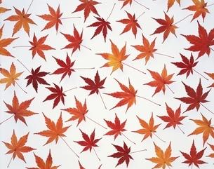 紅葉したモミジの葉の写真素材 [FYI01501510]