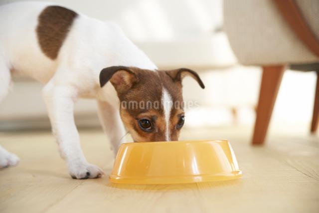 えさを食べるジャックラッセルテリアの写真素材 [FYI01501721]