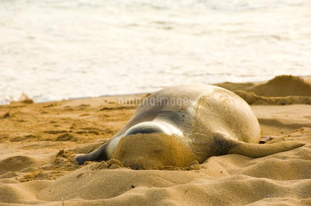 昼寝中のハワイアン・モンクシールの写真素材 [FYI01501753]