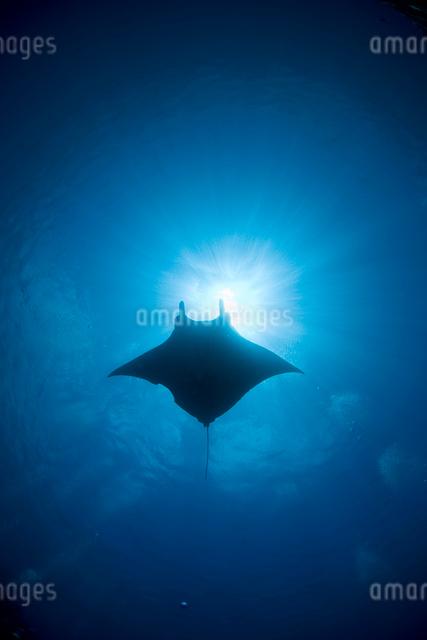 水中から見上げる太陽とマンタの写真素材 [FYI01501831]