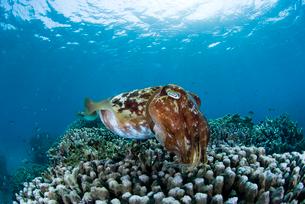 コブシメとサンゴの写真素材 [FYI01501923]