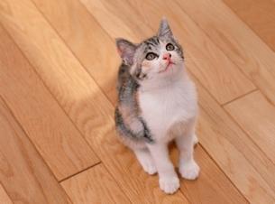 見上げる猫の写真素材 [FYI01501974]