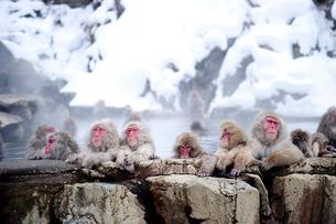 温泉に入浴する猿の写真素材 [FYI01502073]