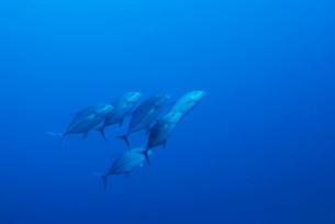 青い海とカスミアジの群れの写真素材 [FYI01502097]