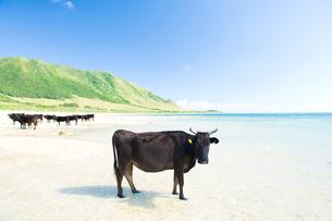 砂浜の牛の写真素材 [FYI01502108]