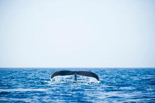 鯨の尾びれの写真素材 [FYI01502112]