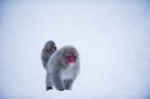 雪の中、歩く親の背中に乗る小猿の写真素材 [FYI01502113]