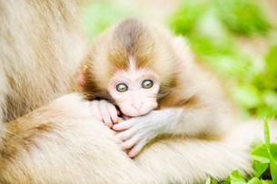 赤ちゃん猿の写真素材 [FYI01502156]