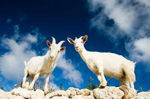 岩に登る山羊の写真素材 [FYI01502180]