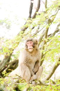 新緑と猿の写真素材 [FYI01502185]