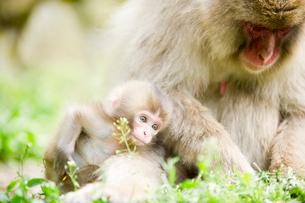 親子の猿の写真素材 [FYI01502189]