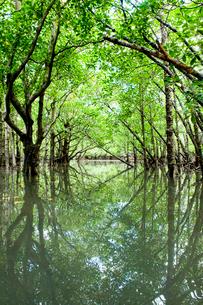 水面に映るマンブローブ林の写真素材 [FYI01502219]