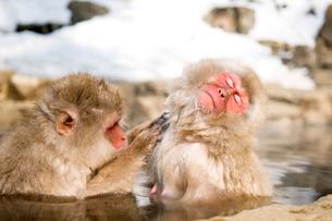 温泉に入り毛繕いする猿の写真素材 [FYI01502235]