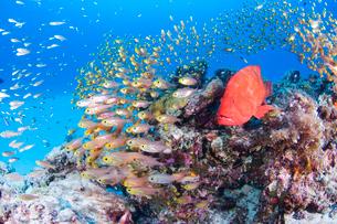 赤いアザハタと小魚の群れの写真素材 [FYI01502278]