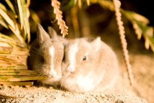 ウサギの子供の写真素材 [FYI01502313]