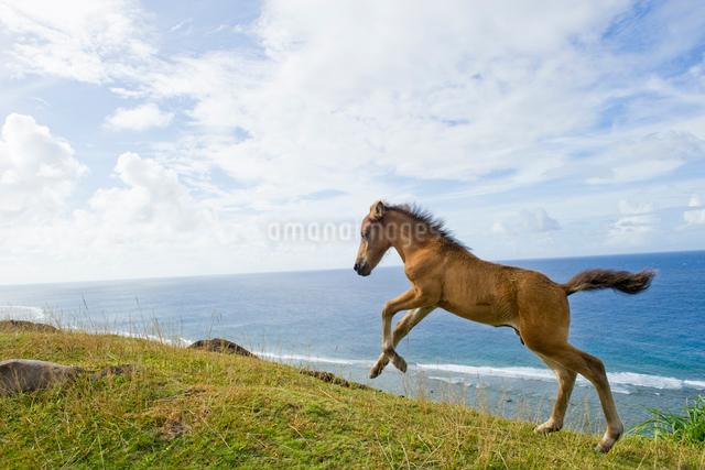 ジャンプする与那国馬の子馬の写真素材 [FYI01502331]