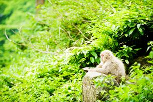 新緑の木々の中、休憩する猿の写真素材 [FYI01502351]