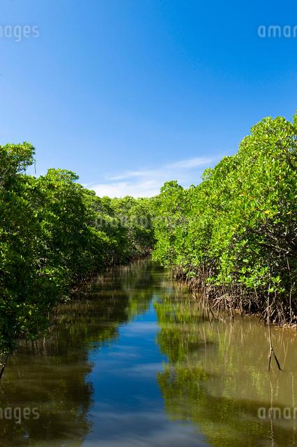青空とマングローブ林の写真素材 [FYI01502357]