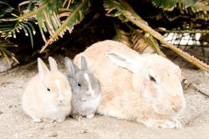 ウサギの親子の写真素材 [FYI01502362]