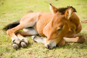 昼寝する与那国馬の子馬の写真素材 [FYI01502369]