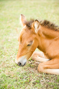 昼寝する与那国馬の子馬の写真素材 [FYI01502384]