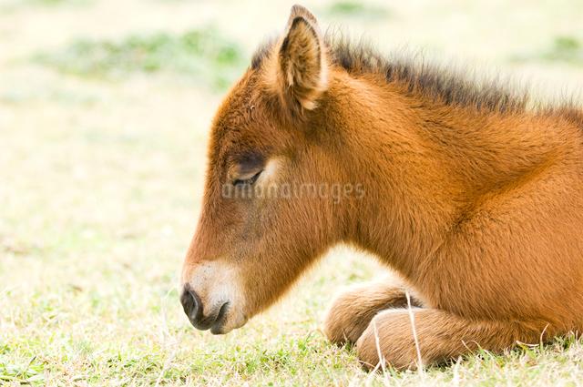 眠る子馬の写真素材 [FYI01502407]