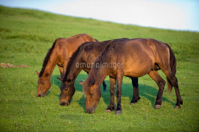 草を食べる3頭の御崎馬の写真素材 [FYI01502410]