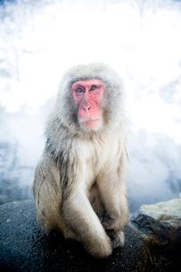遠くを眺める猿の写真素材 [FYI01502428]