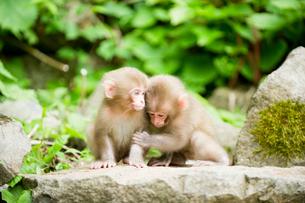 2匹の小猿の写真素材 [FYI01502486]