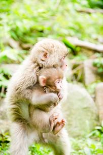 赤ちゃん猿を抱えて歩く小猿の写真素材 [FYI01502497]