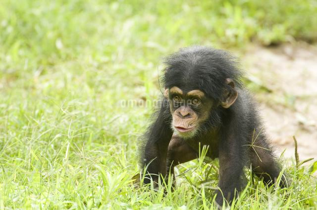 チンパンジーの子供の写真素材 [FYI01502502]