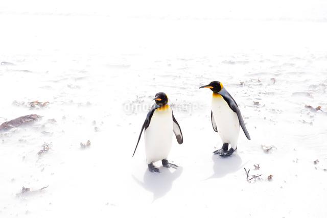 砂浜の2羽のキングペンギンの写真素材 [FYI01502506]