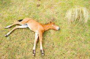 昼寝する与那国馬の子馬の写真素材 [FYI01502525]