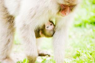 親に抱きつく赤ちゃん猿の写真素材 [FYI01502528]