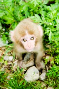 カメラを見つめる赤ちゃん猿の写真素材 [FYI01502536]